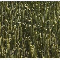 Семена озимой мягкой пшеницы сорт Безостая 100 РС1