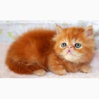 Персидский красавчик- красный мрамор