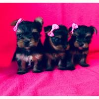 Кукольные йорики, мини девочки