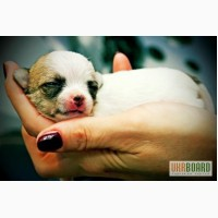 Чихуахуа щенки скоро в продаже мини и супер мини