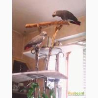 Продам пару попугаев - Жако алохвостых для разведения