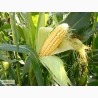 Гибриды семена кукурузы ПР39Х32 (Пионер, Pioneer)