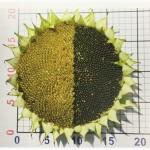 Семена подсолнечника гибриды LG Лимагрен