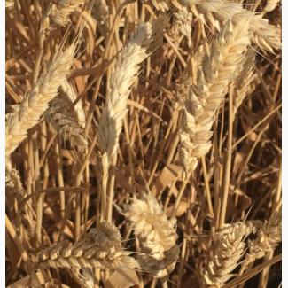 Семена озимой мягкой пшеницы сорт Краса Дона ЭС