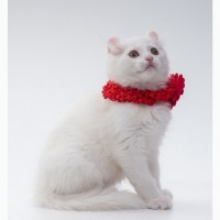 Котята породы американский керл