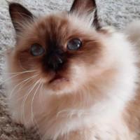 Священная бирма (бирманская кошка)