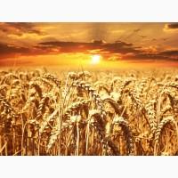 Продаю пшеницу 4 класса оптом от производителя. 12000 руб/тонна