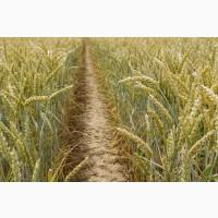 Семена Озимой пшеницы Лидия, Лилит, Капризуля, Аскет