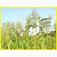 ООО НПП «Зарайские семена» покупает семена суданской травы от 20 тонн