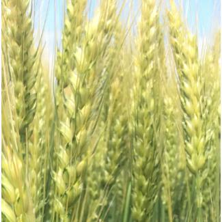 Семена озимой пшеницы сорт Станичная ЭС/РС1/РС2