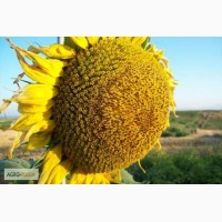 Гибриды семена подсолнечника Мегасан, Тунка, LG5580, ЛГ 5550, ЛГ 5485 (Лимагрен Limagrain)