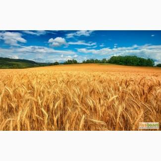 Поставляем пшеницу 3 класс