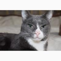 Взрослый кот Серый