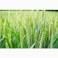 Семена Озимой пшеницы Донская Юбилейная