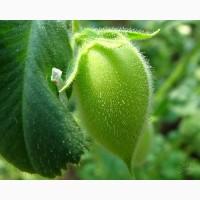 ООО НПП «Зарайские семена» на постоянной основе продает семена нута оптом