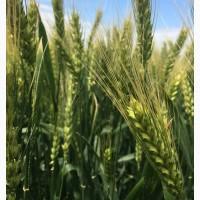 Семена озимой мягкой пшеницы сорт Ермак ЭС/РС1