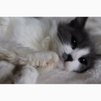 Котёнок Снежка