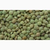 ООО НПП «Зарайские семена» продает семена чечевицы оптом