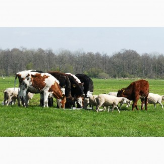Продаю коров Казахской белоголовой породы живым весом на убой. 110 руб/кг