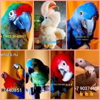 Попугаи - ручные птенцы 4 мес. из питомника