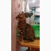 Продаю элитных котят тойгеров