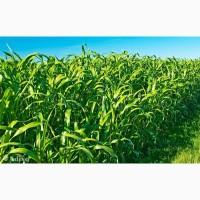 ООО НПП «Зарайские семена» закупает семена: сорго-суданский гибрид от 20 тонн