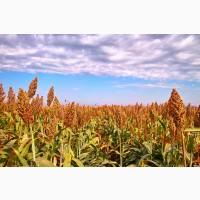 Продаем фуражное зерновое сорго