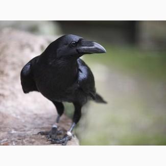 Ворон черный