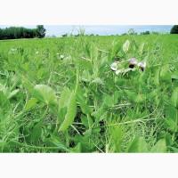 ООО НПП «Зарайские семена» продает семена гороха полевого пелюшка оптом