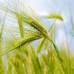 Реализуем пшеницу 4 класса