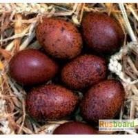 Инкуб. яйцо, цыплята пасхальных кур, перепела