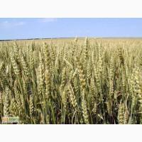 Семена озимой пшеницы Аскет