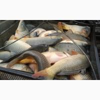 Живая рыба: карп, толстолобик, амур. Доставка. Зарыбление