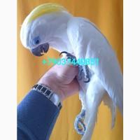 Ручные птенцы синеочковый какаду из питомника