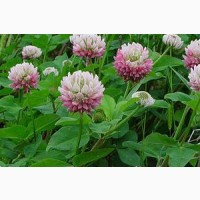 Продаем семена клевера гибридного розового мелким оптом