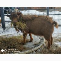 Продам камерунского козла