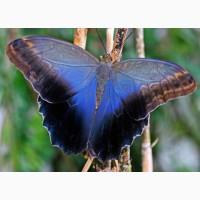 Живые тропические бабочки Caligo Memnom Бабочки Лучший подарок