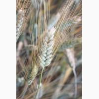 Семена озимой пшеницы Алексеич, Антонина, Баграт, Безостая 100, Веха, Гром, Юка и др