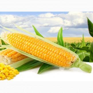 Семена кукурузы от производителя ОООЭлеватор
