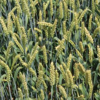 Семена озимой мягкой пшеницы сорт Стан ЭС
