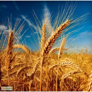 Семена озимой пшеницы Донская Лира