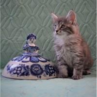 Мейн-кун клубные крупные котята серебристых окраса