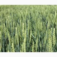 Семена озимой пшеницы Алексеич, Краса Дона, Капризуля, Станичная, Баграт, Гурт, Аксинья