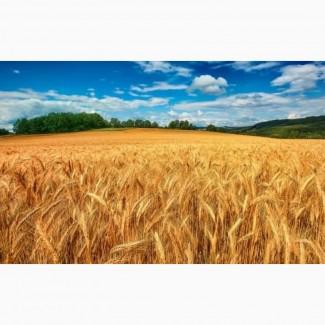 Семена озимой пшеницы Собербаш, Гром, Таня, Степь, Алексеич, Юка