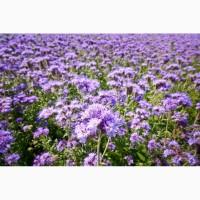 КООО НПП «Зарайские семена» на постоянной основе закупает семена фацелия от 10 тонн