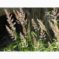 ООО НПП «Зарайские семена» покупает семена: мятлик луговой от 20 тонн