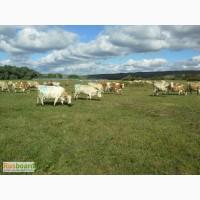 Дойные коровы черно-пестрой / симментальской породы