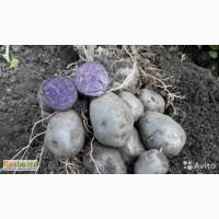 Фиолетовый семенной картофель Purple Majesty 10 шт