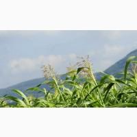Семена суданской травы Камышинская 51, Краснодарская 75