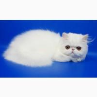 Персидские котята белого окраса девочка и мальчик
